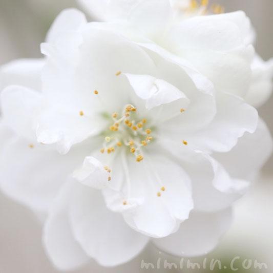 ハナモモ・白の画像