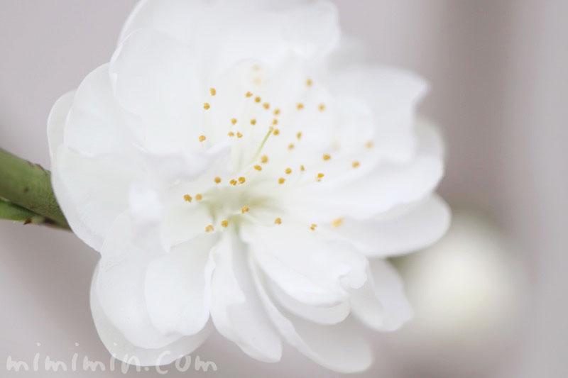 モモの花(白)の写真