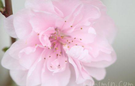 桃の花の写真・花言葉