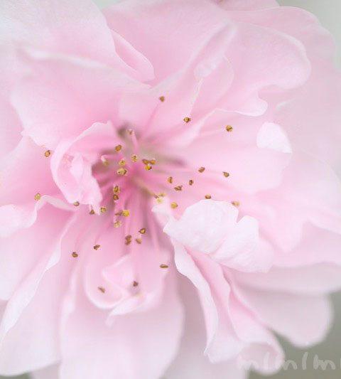 桃の花の写真・花言葉・名前の由来