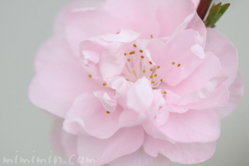 桃の花(ハナモモ)の写真・花言葉