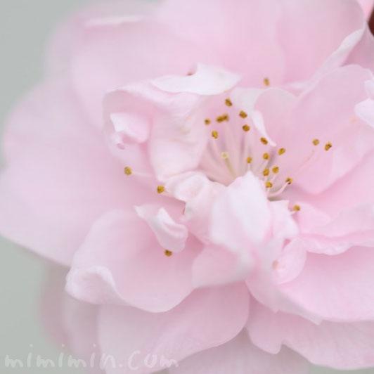 桃の花の写真・花言葉の画像