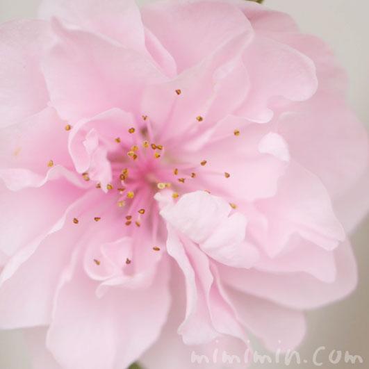 桃の花(ハナモモ)の写真・花言葉の画像
