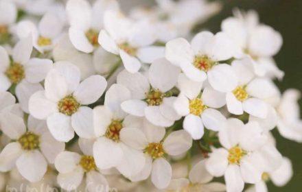 雪柳の花の写真 誕生花の画像