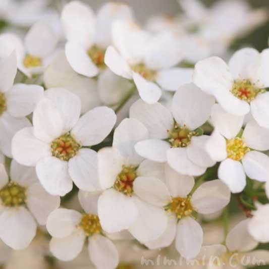 ユキヤナギの写真 花言葉 誕生花の画像