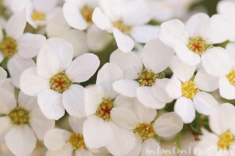 ユキヤナギの花の写真と花言葉と誕生花の画像