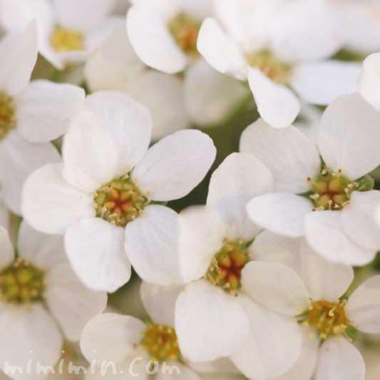 ユキヤナギの花の写真 花言葉 誕生花