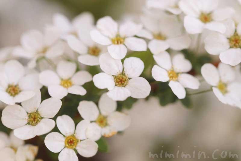 ユキヤナギの写真と花言葉と誕生花