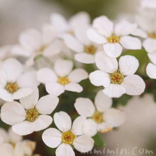 雪柳の写真 誕生花の画像