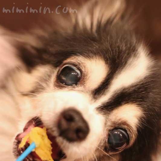 白黒チワワの画像|焼き芋を食べる犬