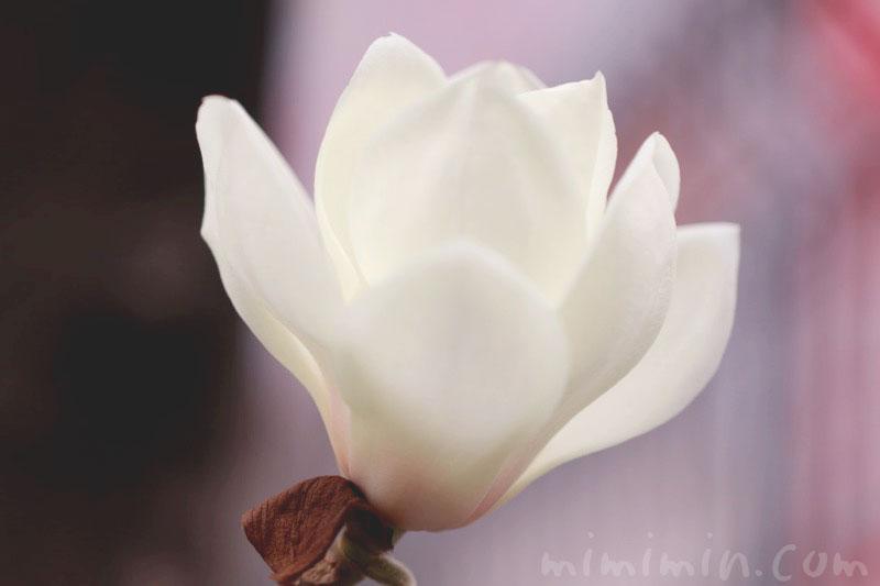白木蓮の花言葉&花の写真の画像