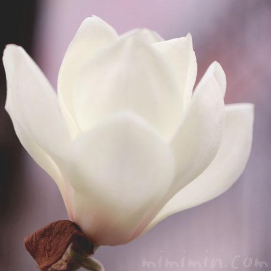 ハクモクレンの花の写真・花言葉の画像