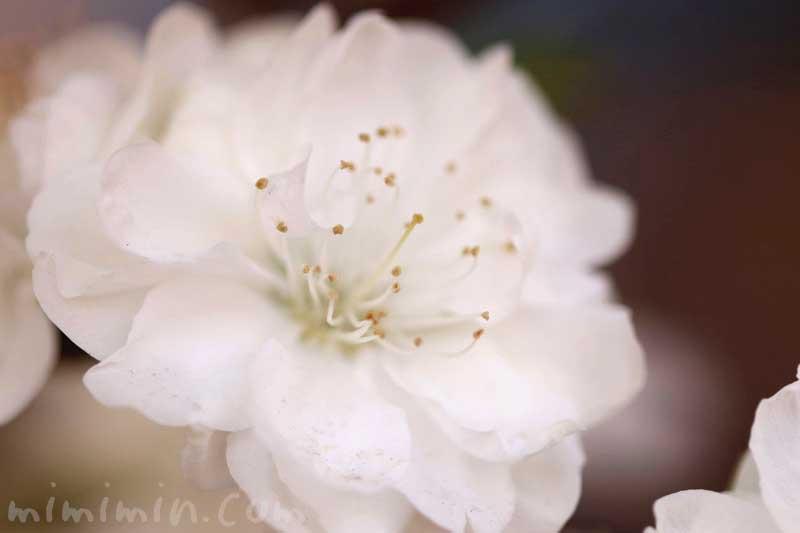 ハナモモ(白)の花の写真と花言葉と誕生花の画像