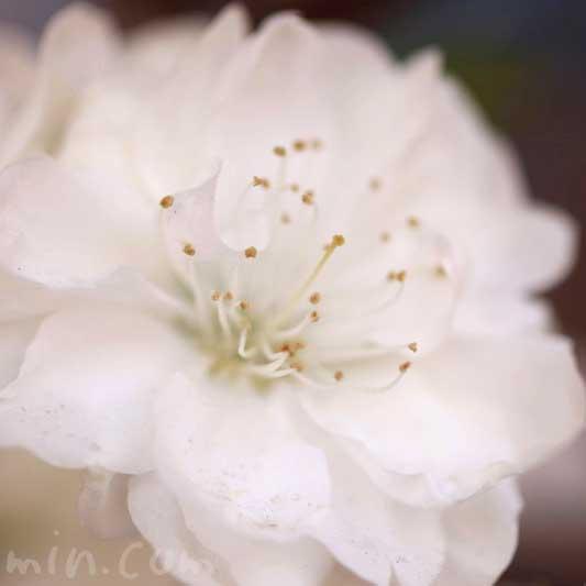 白い桃の花の写真・花言葉・誕生花の画像