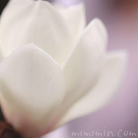 白木蘭の画像