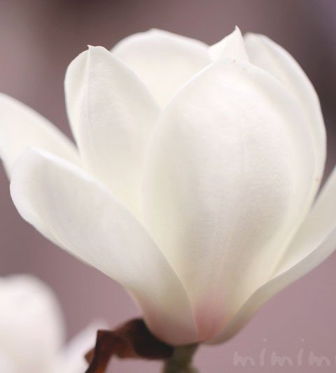 ハクモクレン(白木蓮)|花の写真・花言葉