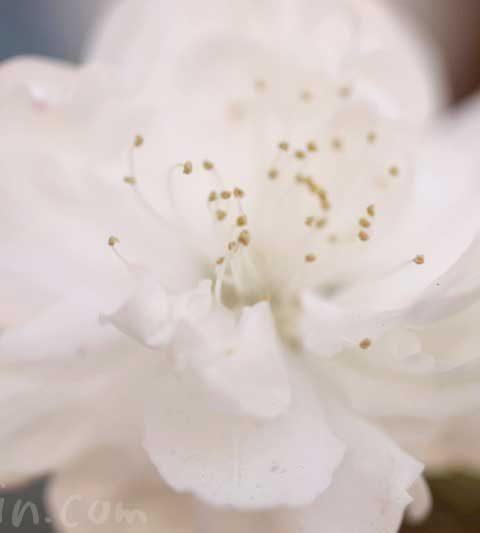 白い桃の花の写真・花言葉