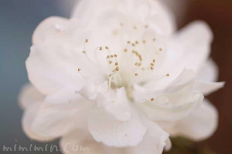 ハナモモ(白)の花の写真 花言葉
