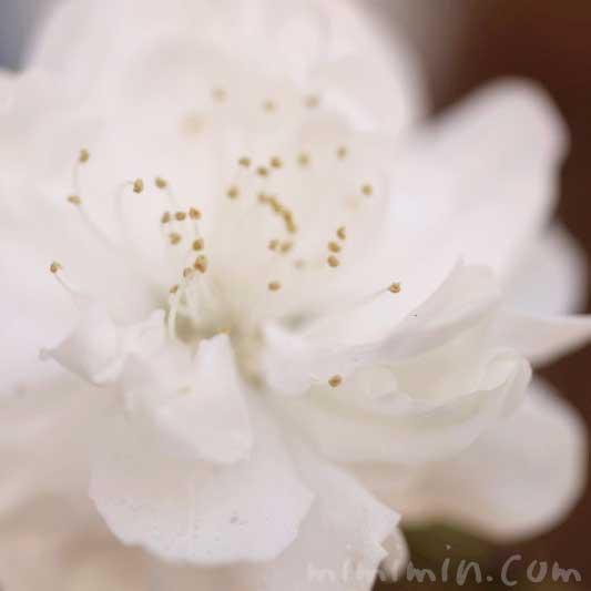 白い桃の花の写真と花言葉と誕生花