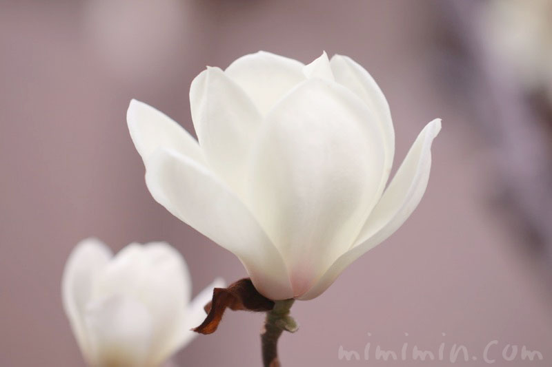 白木蘭の花