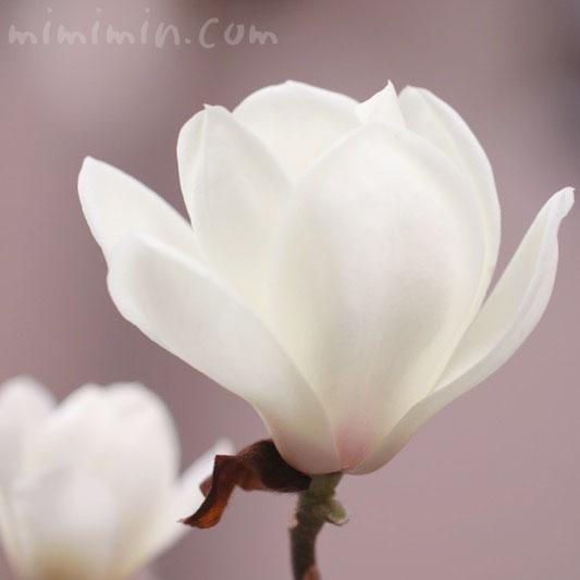 ハクモクレンの花の写真と花言葉