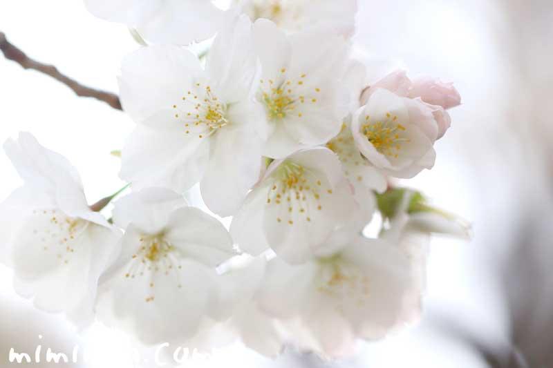 ソメイヨシノの名前の由来と桜の写真と花言葉の画像