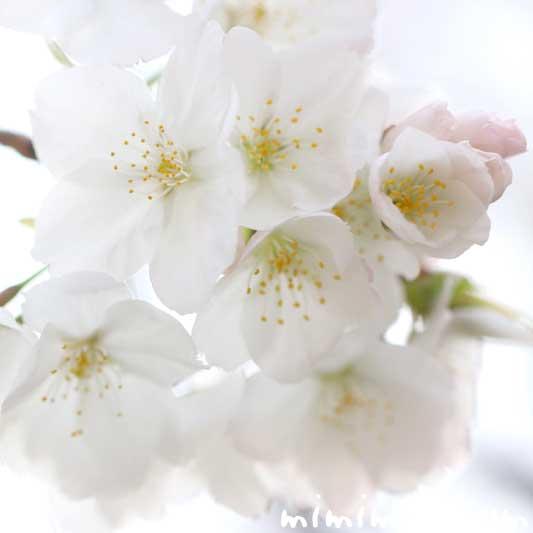 染井吉野(ソメイヨシノ)の名前の由来と桜の写真 花言葉