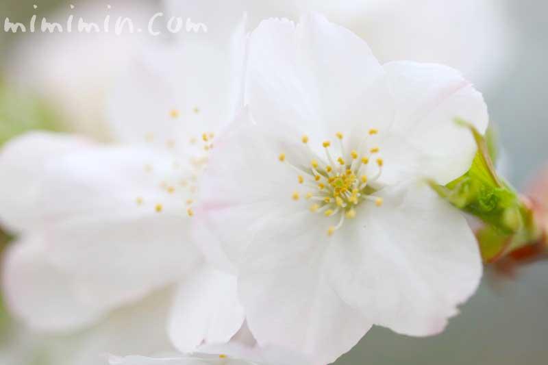 ソメイヨシノの名前の由来と桜の花の写真と花言葉