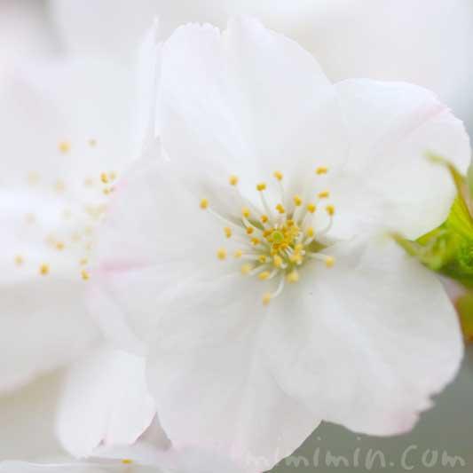 染井吉野(ソメイヨシノ)の名前の由来 桜の写真 花言葉の画像