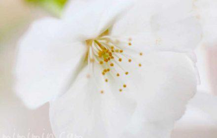 ソメイヨシノの名前の由来・桜の花の写真・花言葉の画像
