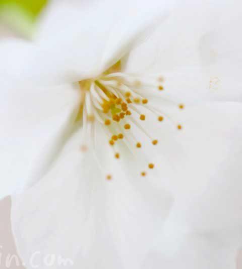 ソメイヨシノの名前の由来・桜の花言葉
