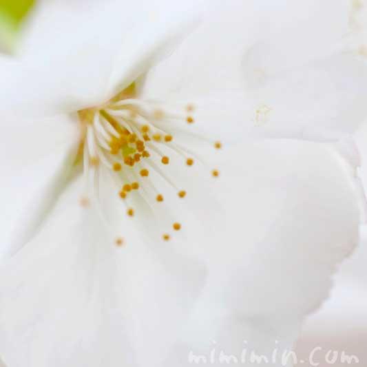 ソメイヨシノの名前の由来 桜の写真 花言葉
