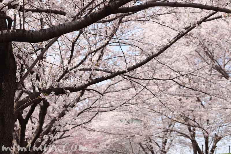 目黒川の桜の花(ソメイヨシノ)|満開の画像