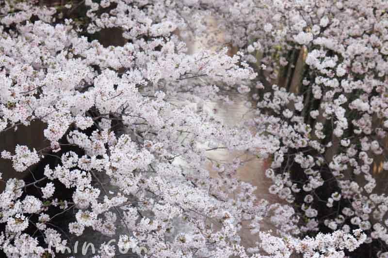 目黒川の桜の花(ソメイヨシノ)|満開・お花見の画像