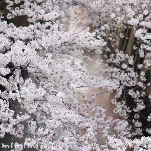 目黒川の桜(染井吉野)の写真