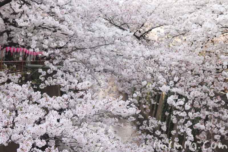 目黒川の桜(ソメイヨシノ)|満開・お花見の画像