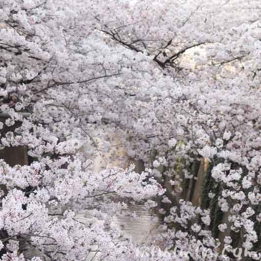 目黒川の桜(ソメイヨシノ)|中目黒のお花見の画像