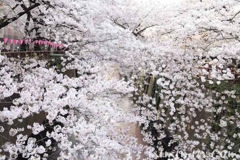 目黒川の桜(染井吉野)|満開・お花見の写真