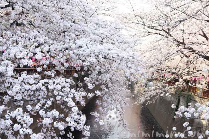 目黒川の桜の花(染井吉野)|満開・お花見の画像