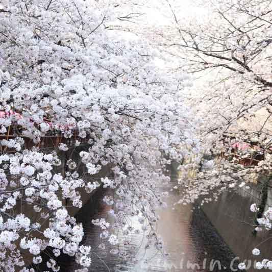 目黒川の桜(染井吉野)|中目黒のお花見の画像