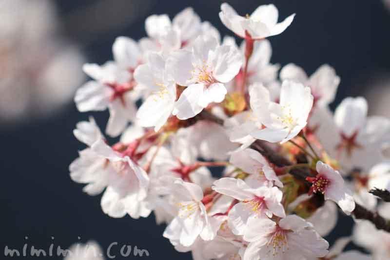 目黒川のお花見(染井吉野)|満開の画像