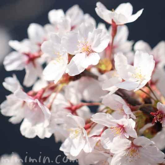 目黒川の桜の花(染井吉野)|満開の画像