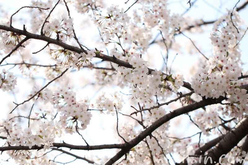 目黒川のお花見(ソメイヨシノ)|満開の写真