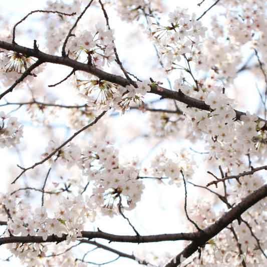 目黒川の桜(染井吉野)|満開の画像