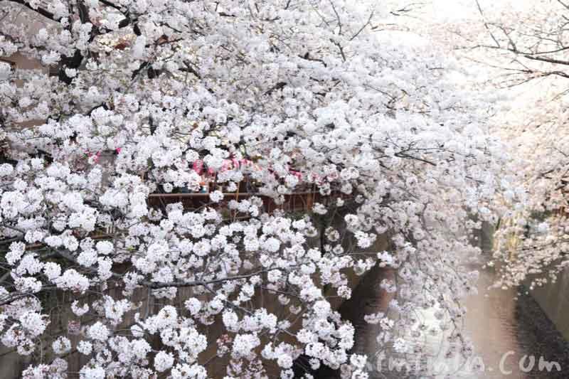 目黒川のお花見(ソメイヨシノ)の画像
