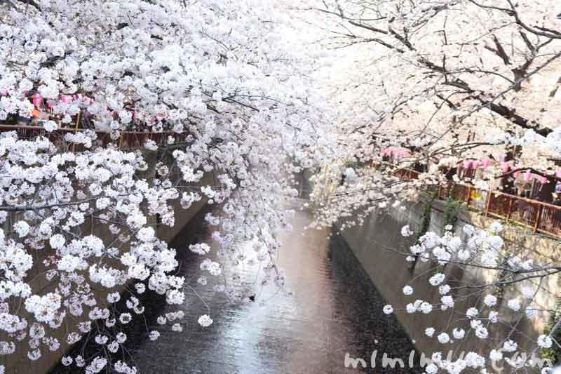 目黒川のお花見(染井吉野)の写真