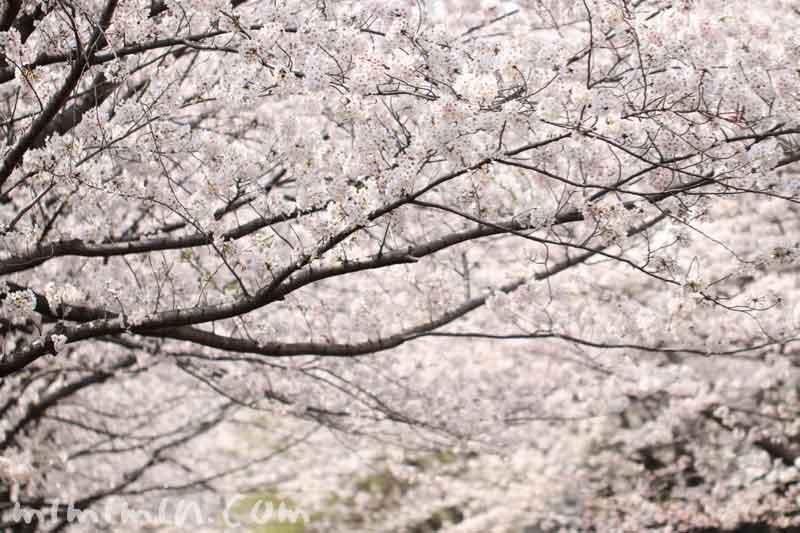 犬と一緒にお花見|目黒川の桜