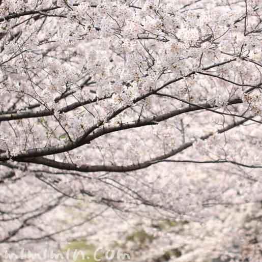 犬と一緒にお花見|目黒川の桜の画像