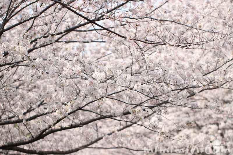 目黒川のお花見(染井吉野)満開の画像