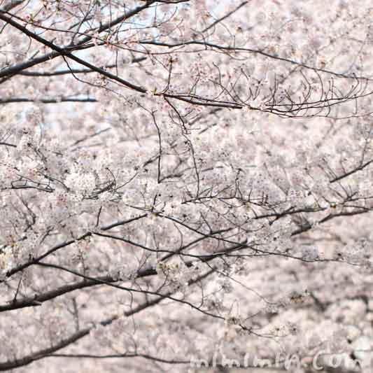 目黒川(中目黒)のサクラ・満開の画像